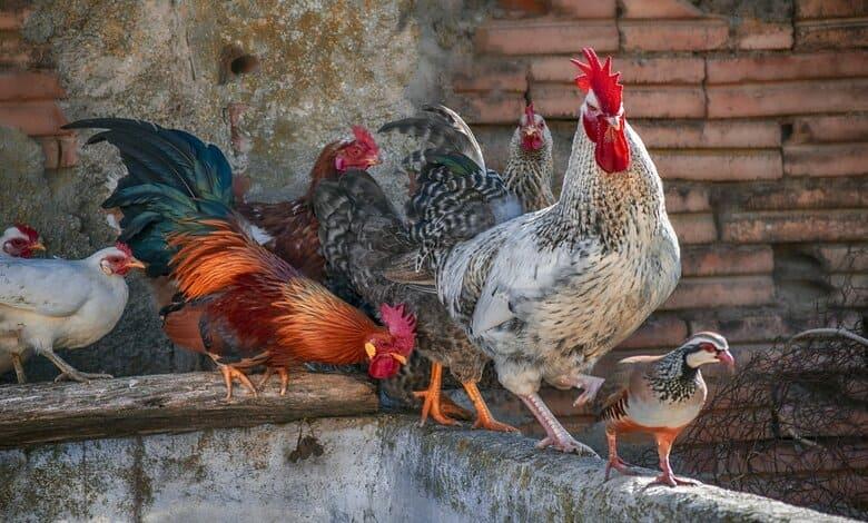 Нюкясълска болест при птиците