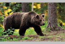Ранена мечка броди из Троянския Балкан